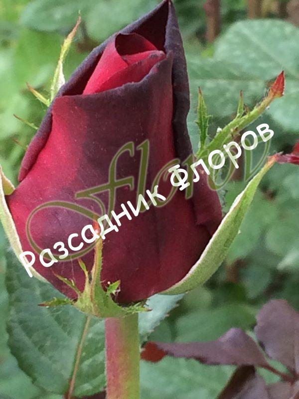 храстовидна роза 1