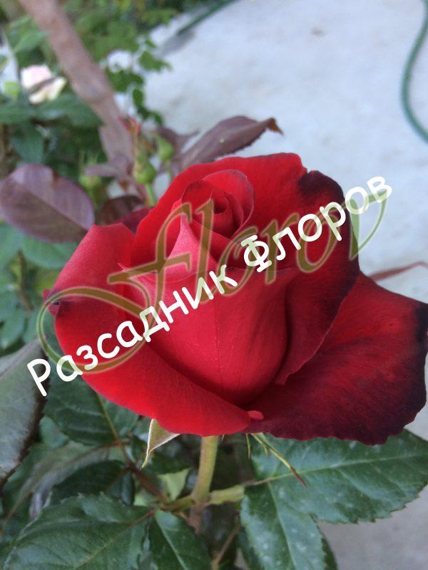 храстовидна роза 11