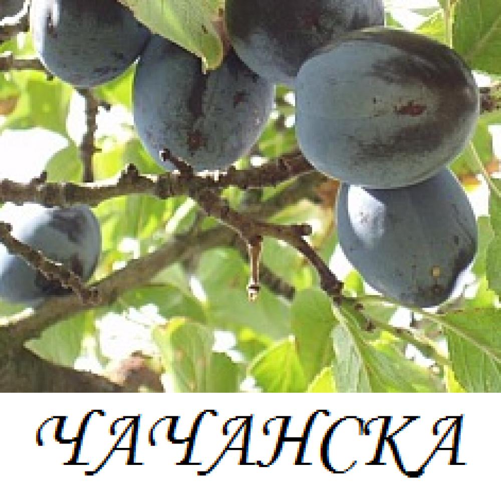 chachanska_lepotica