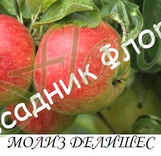 moliz_delishys