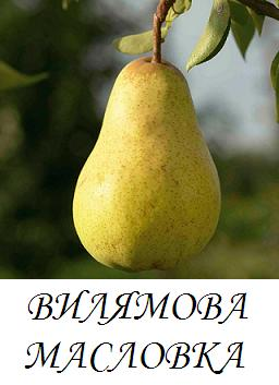 vilqmova_maslovka