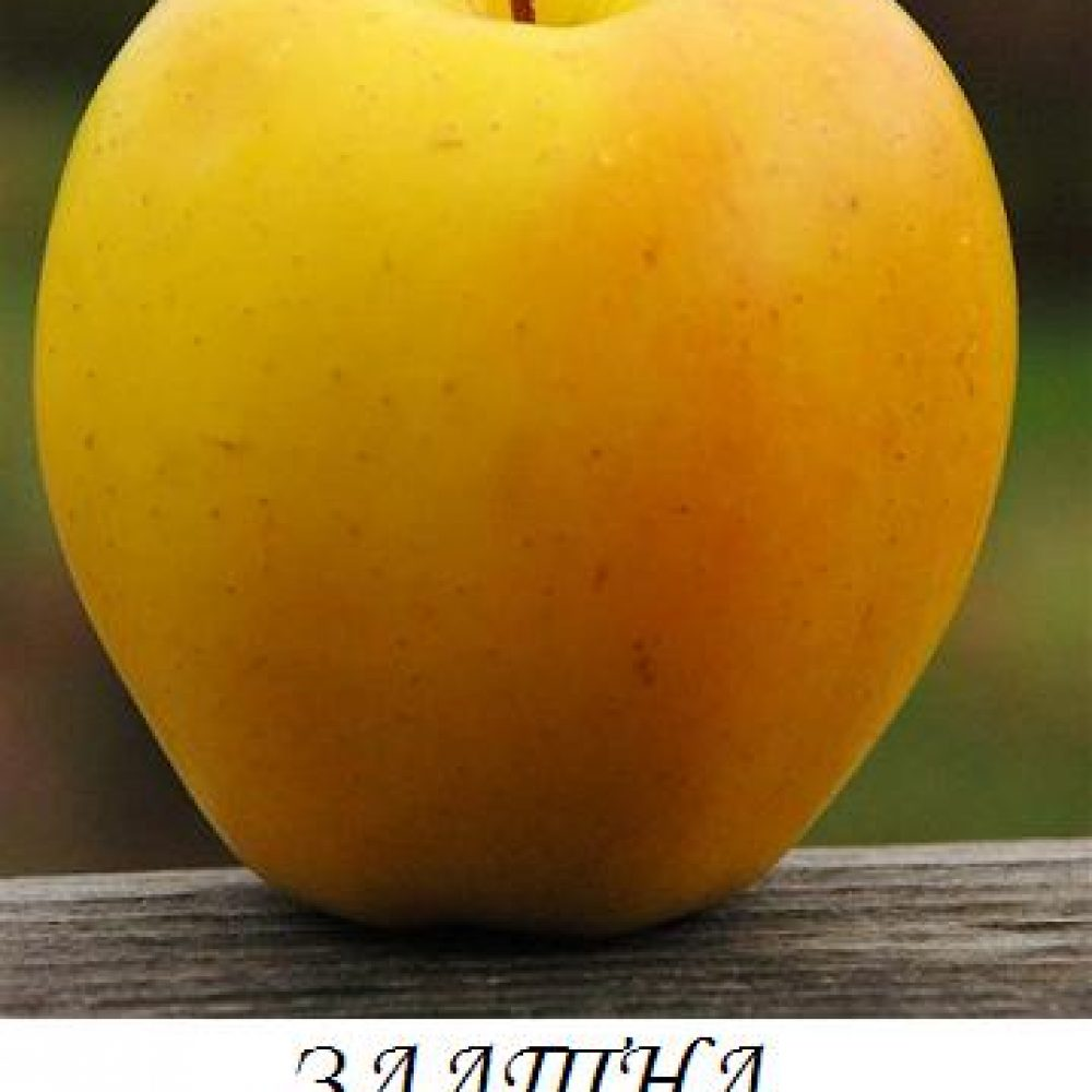 zlatna_prevyzhodna