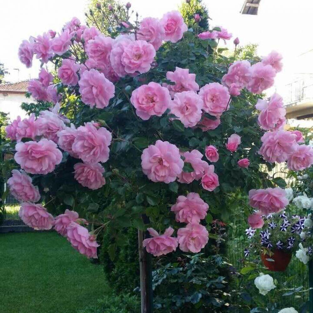 Роза Т7