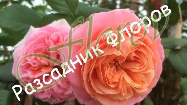 Щамбова роза Т1