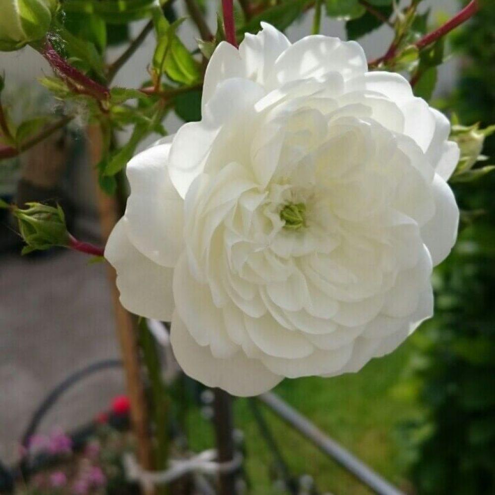 Щамбова роза Т14