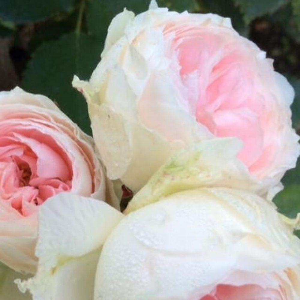 Щамбова роза Т6