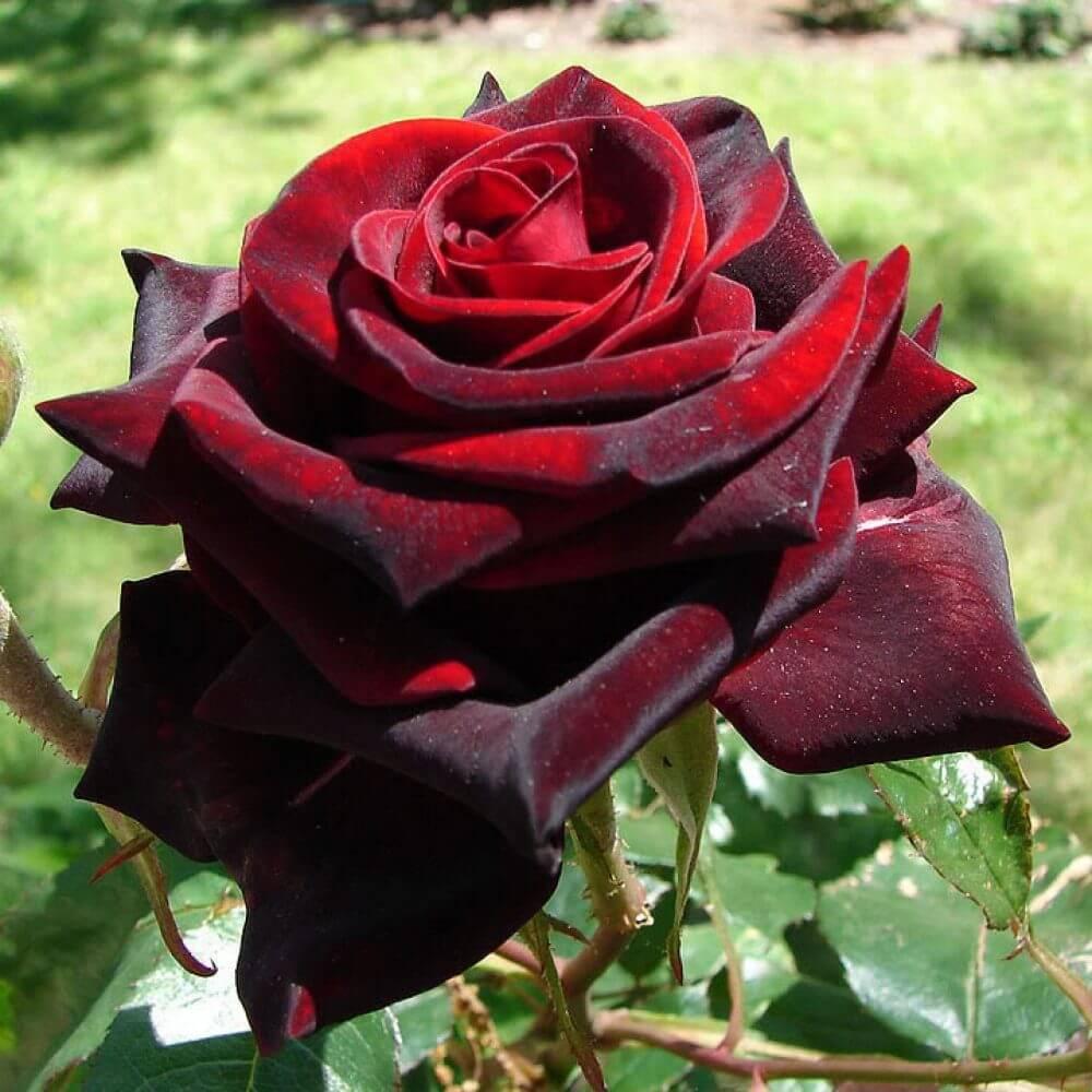 Тъмно червена роза
