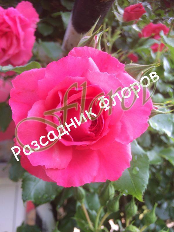 Роза Т12РК