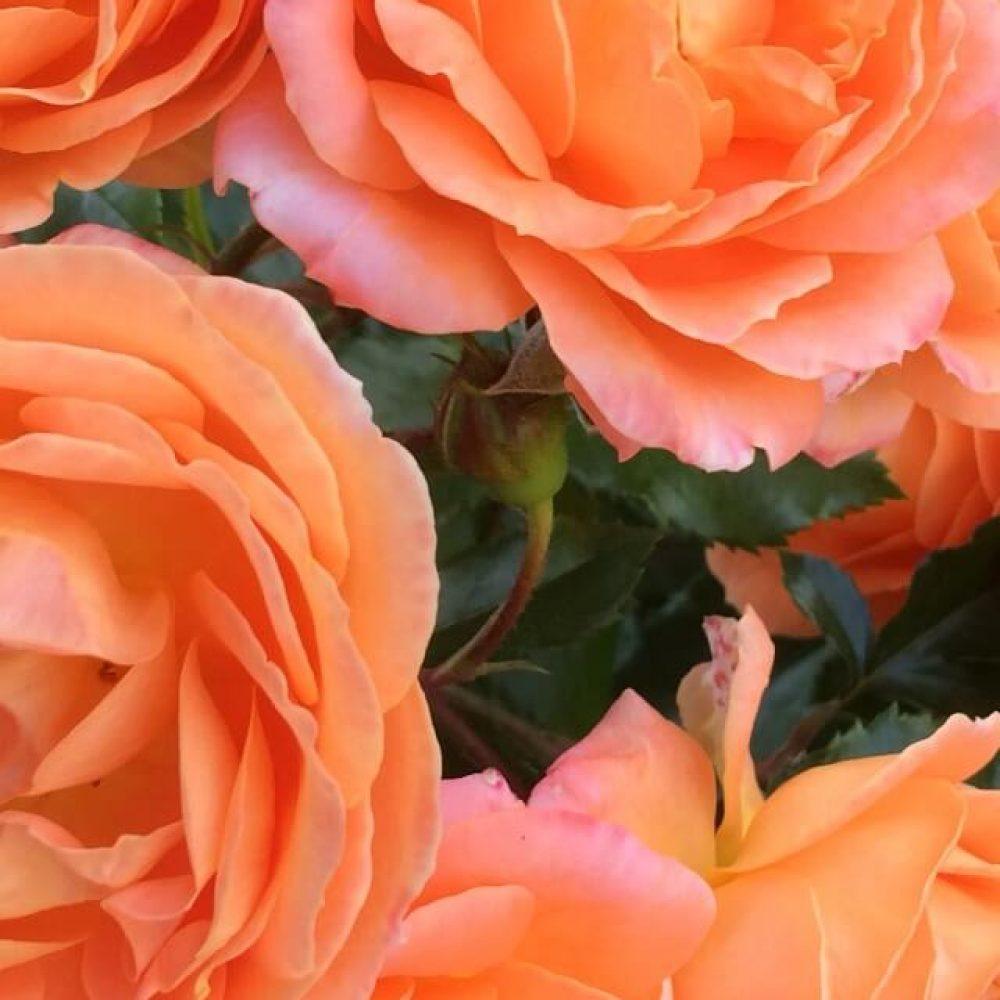 Щамбова роза Т15М