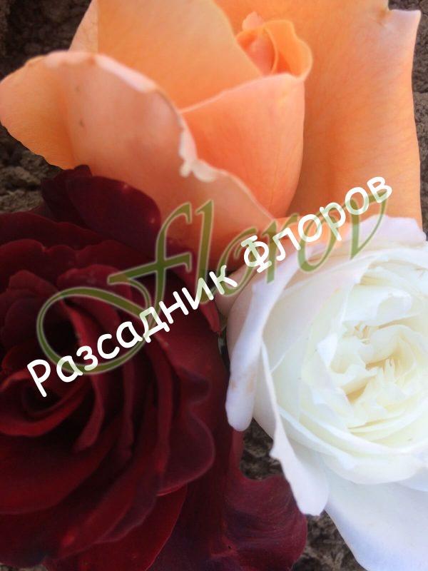 Щамбова роза Т22