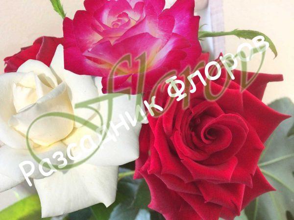 Щамбова роза Т23
