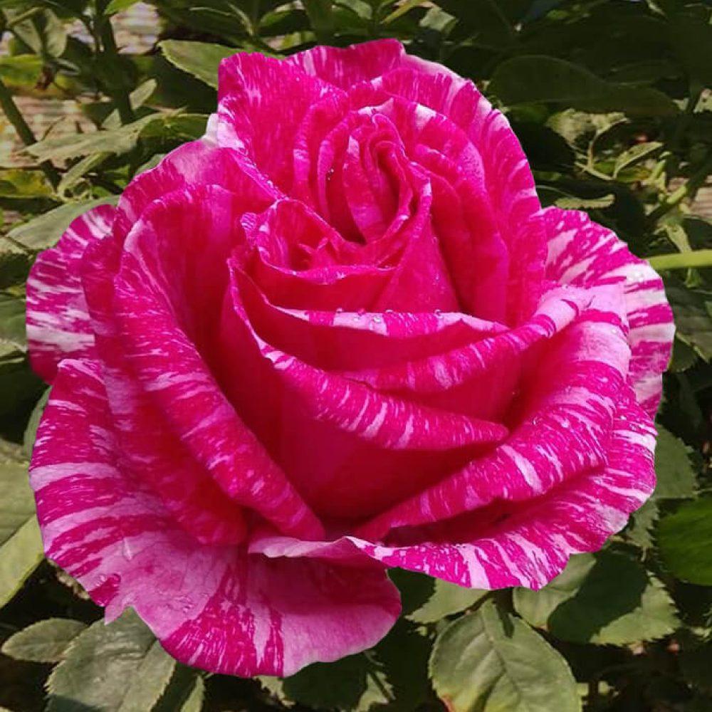 Храстовидна роза номер 61