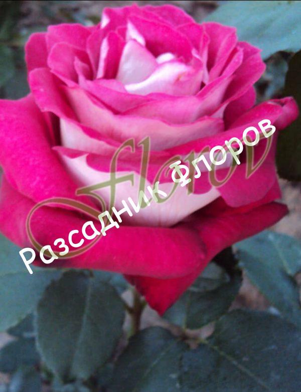 Храстовидна роза номер 62