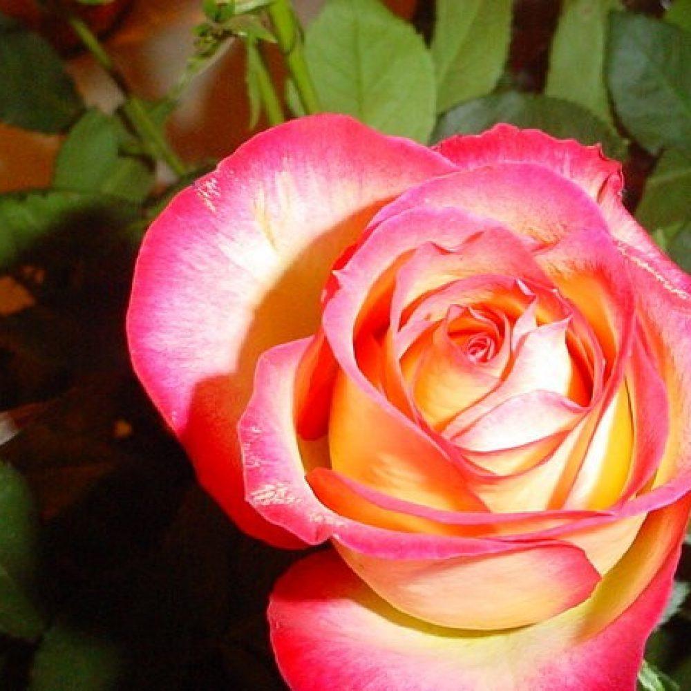 Храстовидна роза номер 63