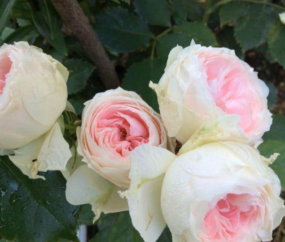 Храстовидна роза номер 64
