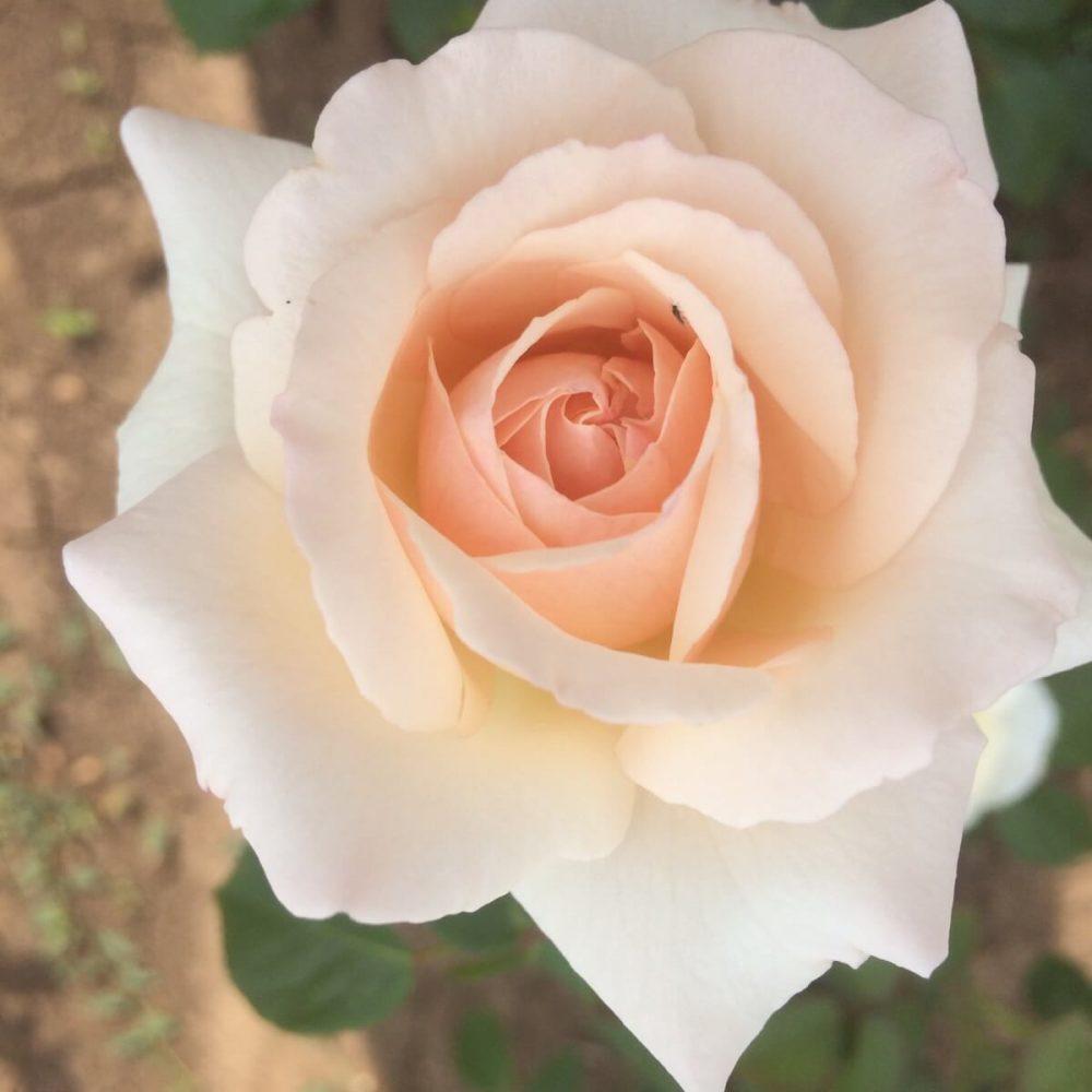 Храстовидна роза номер 65