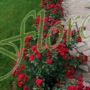 Бордюрни рози