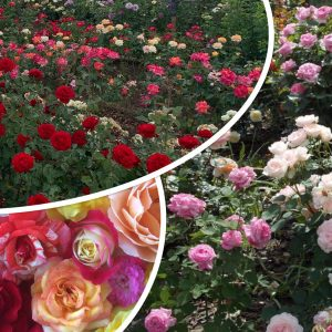 Храстовидни рози