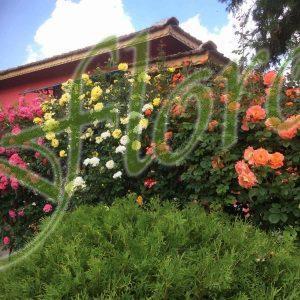 Катерещи рози