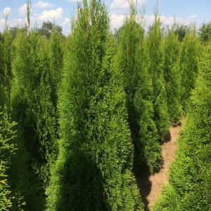 Вечнозелени храсти